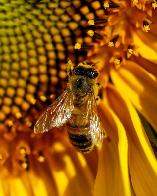 Bee On Sunflower - Obrázkek zdarma pro 320x480