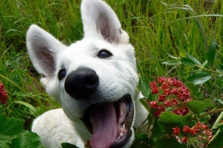 Free White Dog Picture for Android, iPhone and iPad