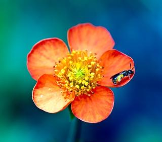 Bee On Orange Petals - Obrázkek zdarma pro 128x128