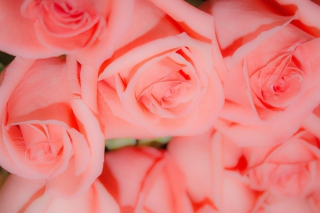 Pink Roses Picture for Android, iPhone and iPad