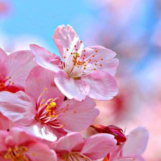 Cherry Blossom Macro - Obrázkek zdarma pro 1024x1024