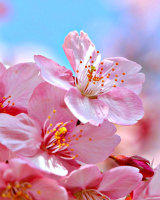 Cherry Blossom Macro - Obrázkek zdarma pro Nokia Asha 305