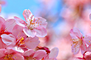 Cherry Blossom Macro Wallpaper for Android, iPhone and iPad