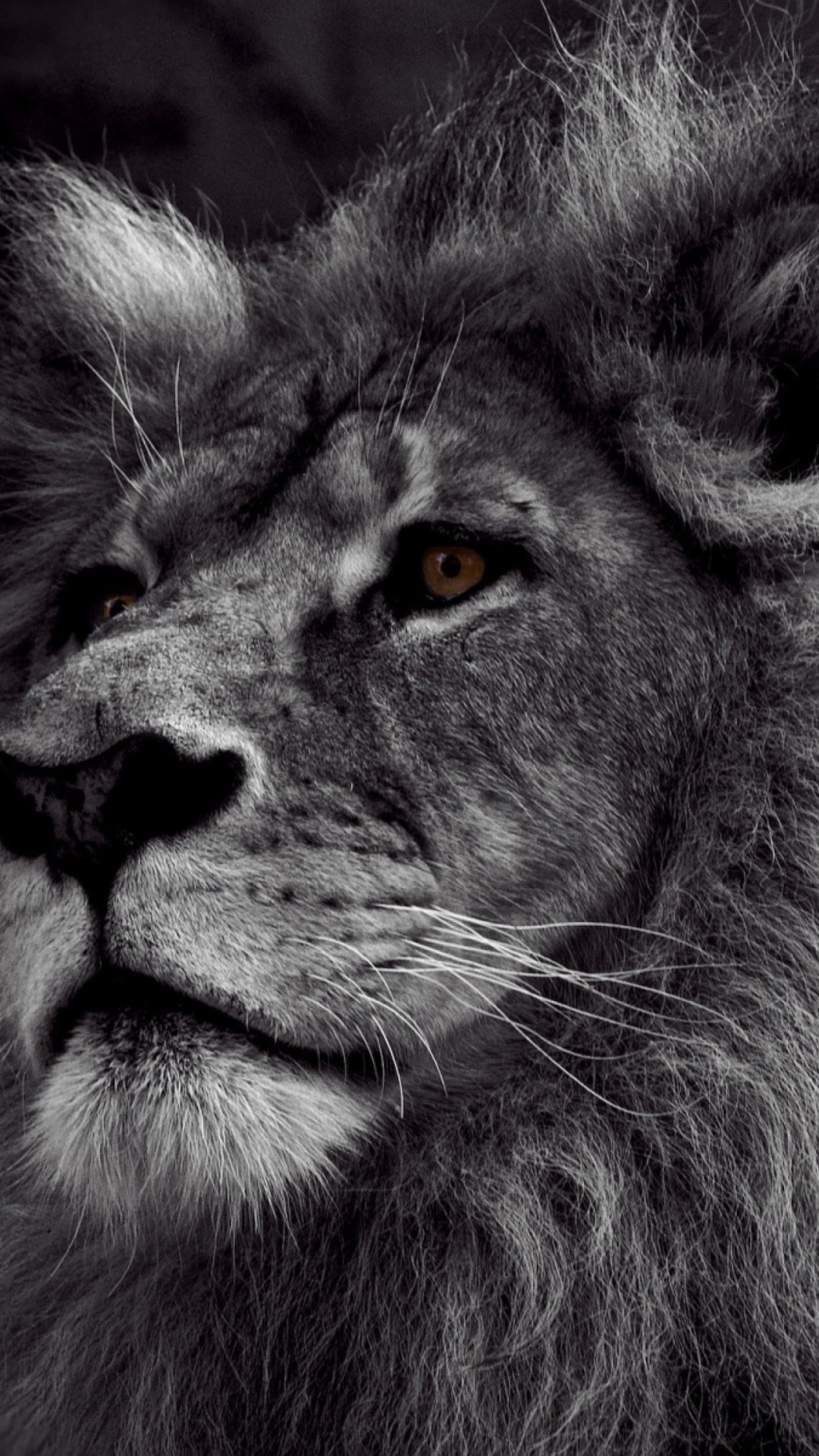 Lion black and white iphone wallpaper - photo#7