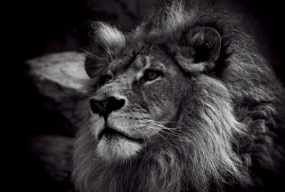 Black And White Lion Picture for Android, iPhone and iPad
