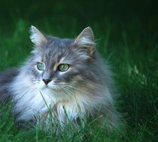 Fluffy Cat - Obrázkek zdarma pro 2048x2048