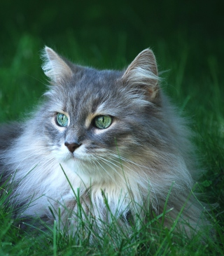 Fluffy Cat - Obrázkek zdarma pro Nokia C6