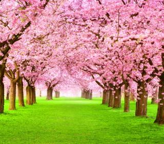 Sakura Park - Obrázkek zdarma pro iPad mini 2