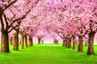 Sakura Park - Obrázkek zdarma pro Samsung Google Nexus S 4G