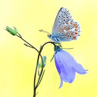 Butterfly on Bell Flower - Obrázkek zdarma pro 128x128