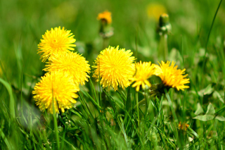 Dandelions HDR Wallpaper for Nokia Asha 200