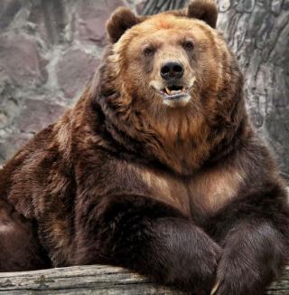 Grizzly bear - Obrázkek zdarma pro 2048x2048