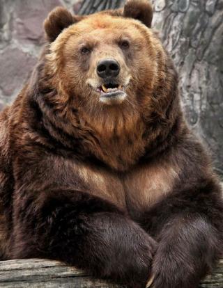Grizzly bear - Obrázkek zdarma pro Nokia Lumia 505