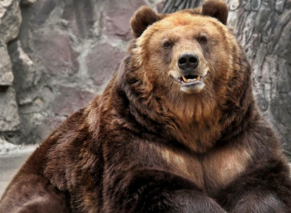 Grizzly bear Wallpaper for Android, iPhone and iPad