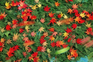 Free Red Leaves Picture for Android, iPhone and iPad