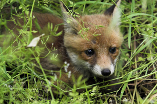 Free Fox Picture for Android, iPhone and iPad