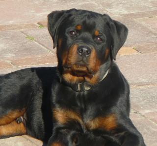Rottweilers - Obrázkek zdarma pro 320x320
