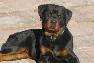 Free Rottweilers Picture for Android, iPhone and iPad