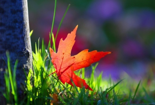 Free Red Leaf Green Grass Macro Picture for Android, iPhone and iPad