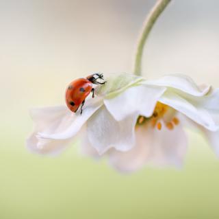 Red Ladybug On White Flower - Obrázkek zdarma pro iPad