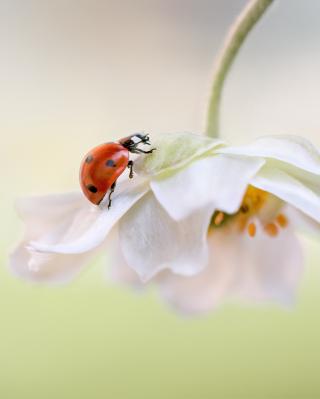 Red Ladybug On White Flower - Obrázkek zdarma pro Nokia C1-02