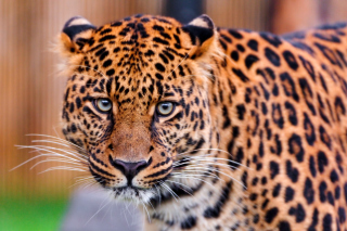 Leopard, National Geographic Background for Android, iPhone and iPad