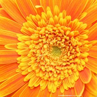 Closeup Orange Flower - Obrázkek zdarma pro iPad 2