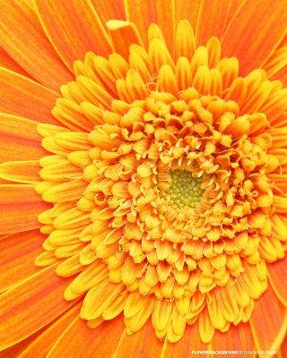 Closeup Orange Flower - Obrázkek zdarma pro Nokia X1-00