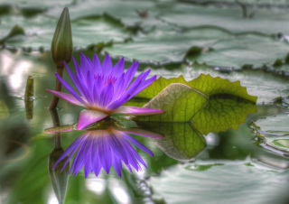 Purple Hd Lotus Background for Android, iPhone and iPad