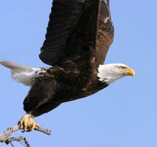 Eagle With Branch - Obrázkek zdarma pro iPad mini