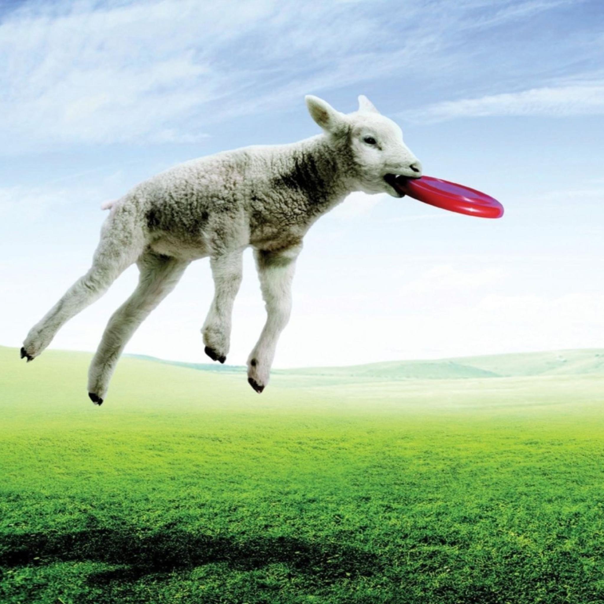 Screenshot №1 pro téma Lamb And Frisby 2048x2048