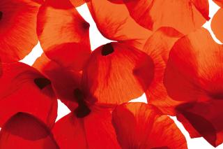 Poppy Petals - Obrázkek zdarma pro HTC Desire HD