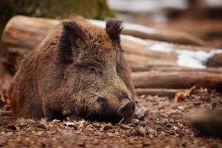 Wild Boar - Obrázkek zdarma pro Sony Xperia M