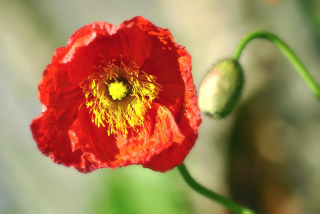 Red Poppy Close Up - Obrázkek zdarma pro Widescreen Desktop PC 1600x900