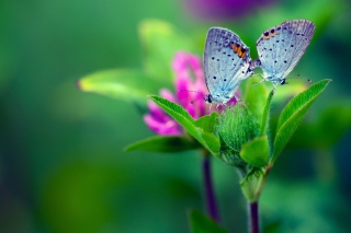 Blue Butterflies On Green Leaves Background for Android, iPhone and iPad