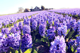 Lavender Field Picture for Android, iPhone and iPad