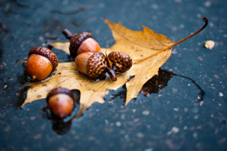 Autumn Leaf And Acorn Picture for Android, iPhone and iPad