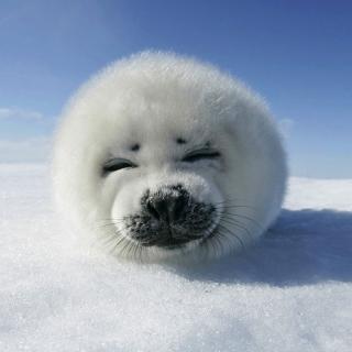 White Seal - Obrázkek zdarma pro 2048x2048