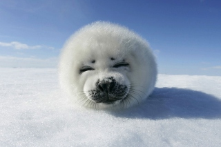 White Seal - Obrázkek zdarma pro Xiaomi Mi 4