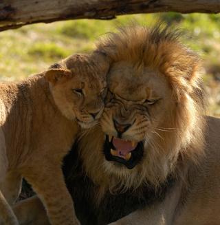 Lion Cuddle - Obrázkek zdarma pro iPad mini 2