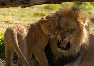 Lion Cuddle - Obrázkek zdarma pro Samsung P1000 Galaxy Tab