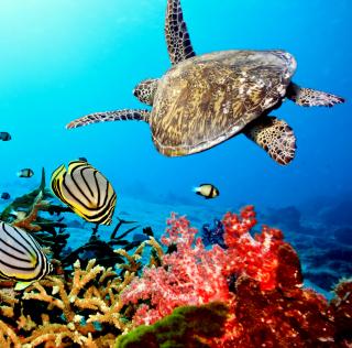 Caribbean Sea Turtle - Obrázkek zdarma pro 320x320
