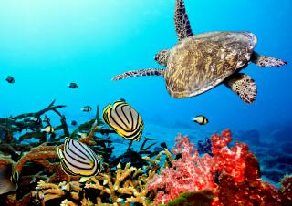 Caribbean Sea Turtle - Obrázkek zdarma pro Fullscreen Desktop 1600x1200