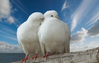 Two White Pigeons Background for Android, iPhone and iPad
