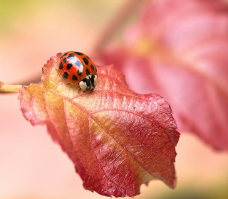 Ladybug On Red Leaf - Obrázkek zdarma pro iPad