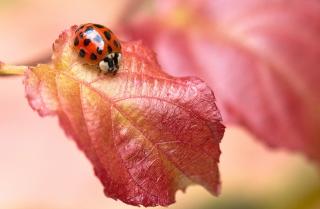 Ladybug On Red Leaf - Obrázkek zdarma pro LG P500 Optimus One