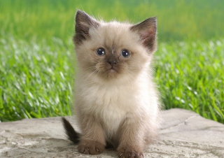 Himalayan Kitten Background for Android, iPhone and iPad