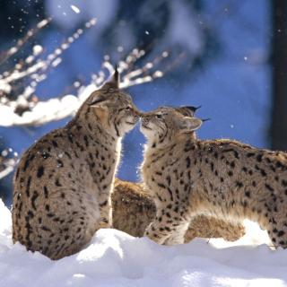 Lynx Cubs - Obrázkek zdarma pro iPad 2