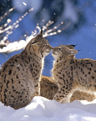 Lynx Cubs - Obrázkek zdarma pro Nokia C3-01 Gold Edition