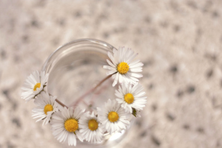 Daisies on white background papel de parede para celular